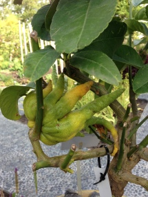 buddha hand fruit at Hortus Leiden, 2015